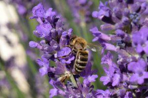 Wenn eine Biene stirbt