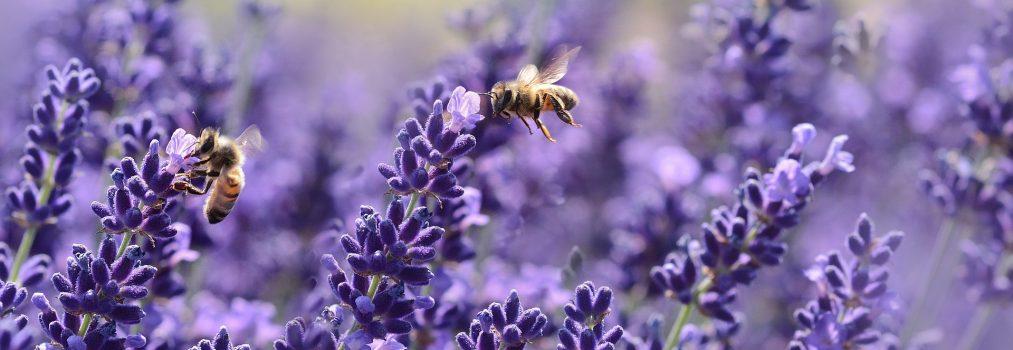 Blütensüsser weißer Honig von lilafarbigen Lavendelfeldern