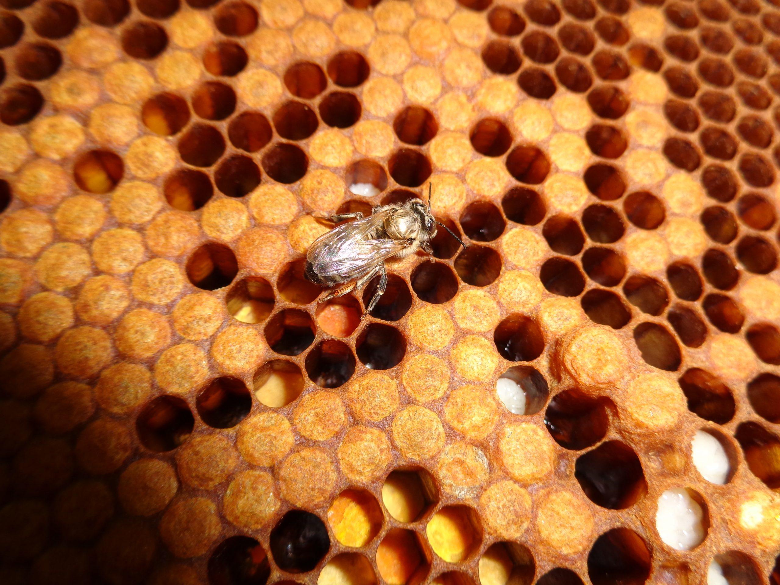 Wie kommunizieren die Bienen miteinander?
